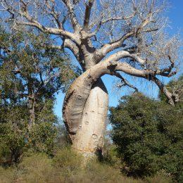 Eine der bekanntesten Sehenswürdigkeiten: Die verliebten Baobabs.