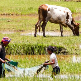 Die Reisfelder dienen auch zum fischen. Die Netze, die verwendet werden, sind meist Moskitonetze, die eigentlich gespendet wurden, um vor der Malaria zu schützen