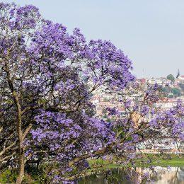 Jedes Jahr wieder schön anzuschauen: Die Blüte der Jacaranda-Bäume rund um den Lac Anosy in Antananarivo (Tana)